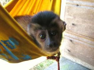 monkey in a hammock ... in the Amazon