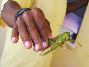 that grasshopper snatched the pebble ... and my hand! ... from my hand.